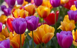 Preview wallpaper Purple and yellow tulips, many flowers