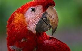 Красное перо ара, голова, глаза