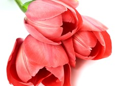 Preview wallpaper Red tulips, white background