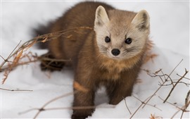 Preview wallpaper Snow, winter, wildlife, marten