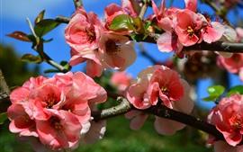 Aperçu fond d'écran Printemps, fleurs roses en fleurs, brindilles