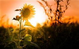 Girassóis, pôr do sol, brilho, verão