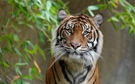 Tigre olha para você, cara, olhos, bambu