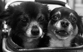 Preview wallpaper Two cute puppies, black and white picture