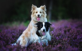 Preview wallpaper Two dogs, lavender, purple flowers
