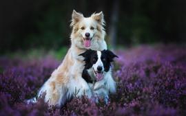 Deux chiens, lavande, fleurs violettes
