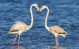Two flamingos, water, birds