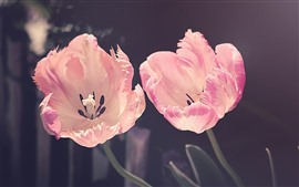 Preview wallpaper Two light pink tulips, petals, sunshine