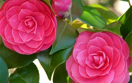 Two pink flowers, camellia, spring
