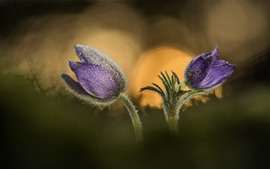 Two purple sleep-grass flowers, water droplets, hazy