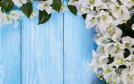 White bougainvillea flowers, blue background