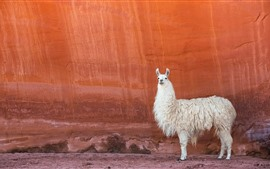 Preview wallpaper White llama, red wall
