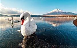 Cisnes brancos, lago, água, montanhas