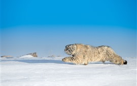 Gato montés, correr, nieve