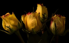 Preview wallpaper Yellow roses, petals, black background