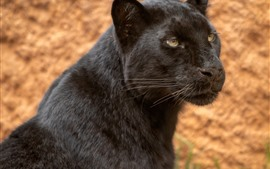 Preview wallpaper Black panther, look, face, wildlife