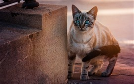 Preview wallpaper Blue eyes cat, look, stairs