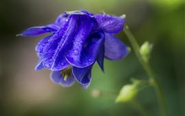 Macro fotografia de flor roxa azul, gotas de água, nebulosas