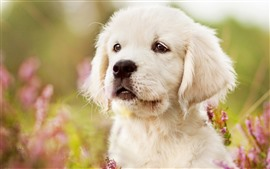 Cute white puppy, look