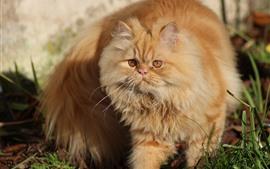 Пушистый кот, домашнее животное
