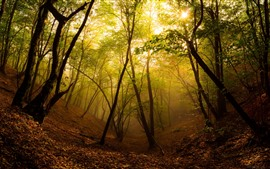 Forest, trees, sun, fog, autumn