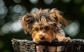 Preview wallpaper Furry puppy, basket