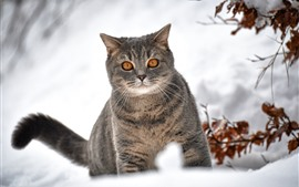 Preview wallpaper Gray cat look, brown eyes, snow