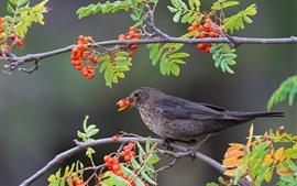 Pássaro de penas cinza, bagas, galhos