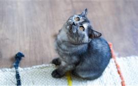 Gatinho cinzento leva a cabeça para cima, olhos castanhos