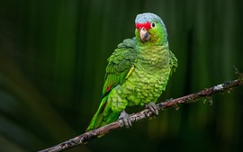 Green parrot, look, tree branch