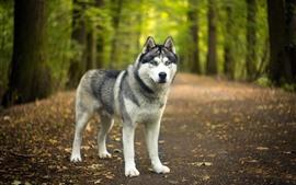 Cão Husky, olhe para você, árvores, fundo nebuloso