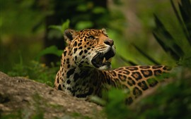 Preview wallpaper Jaguar, fangs, wildlife