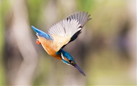 Preview wallpaper Kingfisher, flight, wings, attack