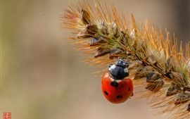 Preview wallpaper Ladybug, grass, insect close-up