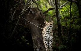 Preview wallpaper Leopard, look, forest, wildlife