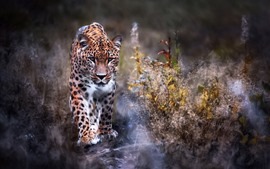 Preview wallpaper Leopard walk to you, front view, grass