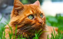 Preview wallpaper Orange cat, face, look, grass