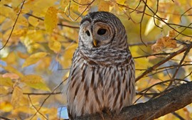 Owl in autumn, yellow leaves, twigs, tree