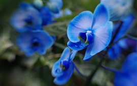 Preview wallpaper Phalaenopsis, blue petals, flower macro photography