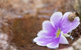 Close-up de flor rosa, pétalas, caracol, água
