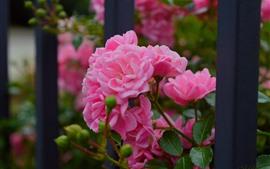 Rosas rosadas, valla