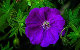 Preview wallpaper Purple geranium flower macro photography
