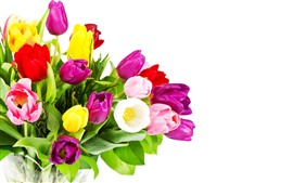 미리보기 배경 화면 보라색, 노란색, 분홍색 튤립, 꽃다발, 흰색 배경