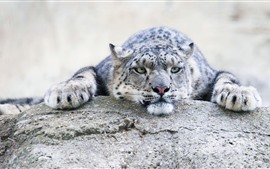 Preview wallpaper Snow leopard, rest, stone, look, face