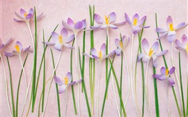Some pink crocuses, flowers background