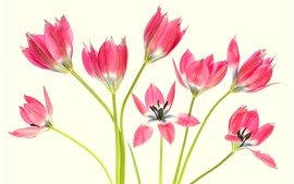 Preview wallpaper Some pink tulips, petals, white background