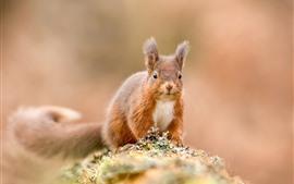 Esquilo, vista frontal, fundo nebuloso