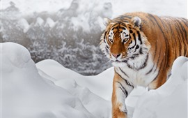 Preview wallpaper Tiger, snow, cold, wildlife