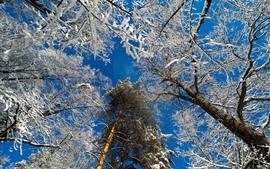 Arbres, neige, ciel bleu, hiver