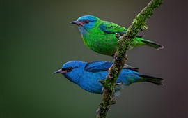 Two birds, blue and green